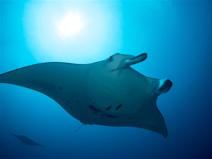 Manta ray in addu atoll in Maldives