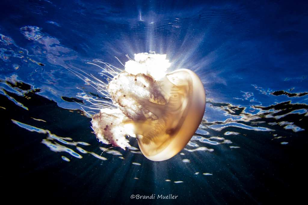 Jellyfish in Kwajalein atoll (Marshall Islands)