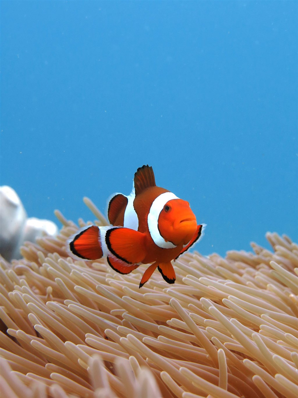 Clown Anemonefish Photo in Gili Mimpang in Indonesia