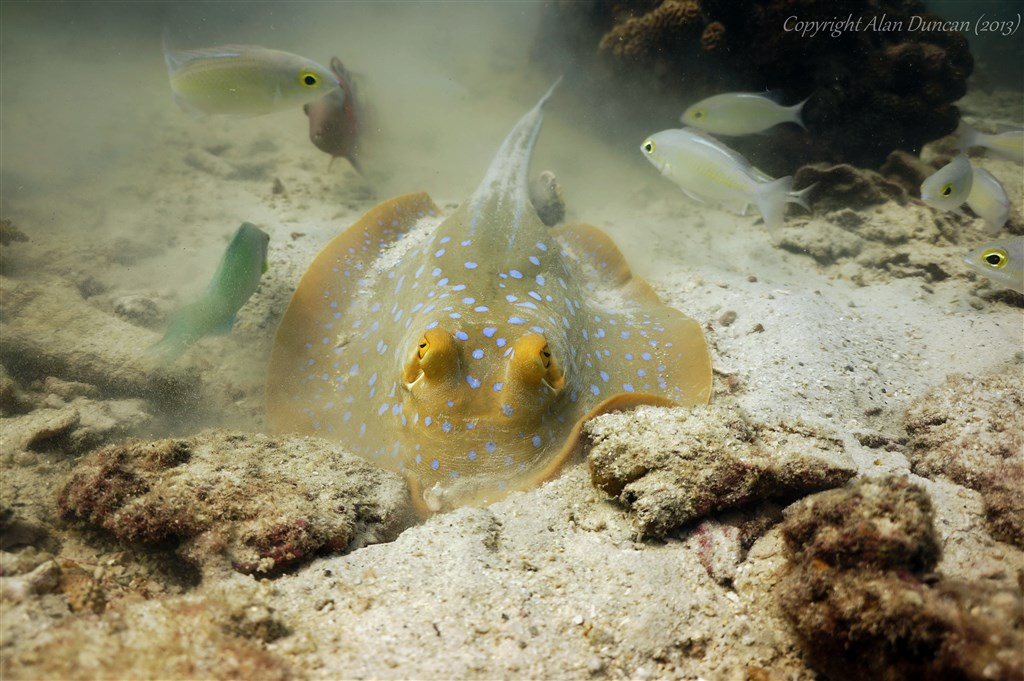 Ribbontail Stingray Photo in Angthong Marine Park - Koh Yippon/Hin Yippon in Thailand