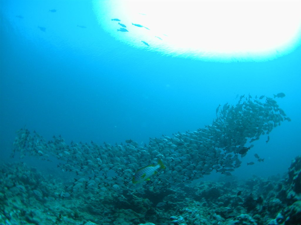 Indian ocean oriental sweetlips photo in banana reef in - Padi dive sites ...