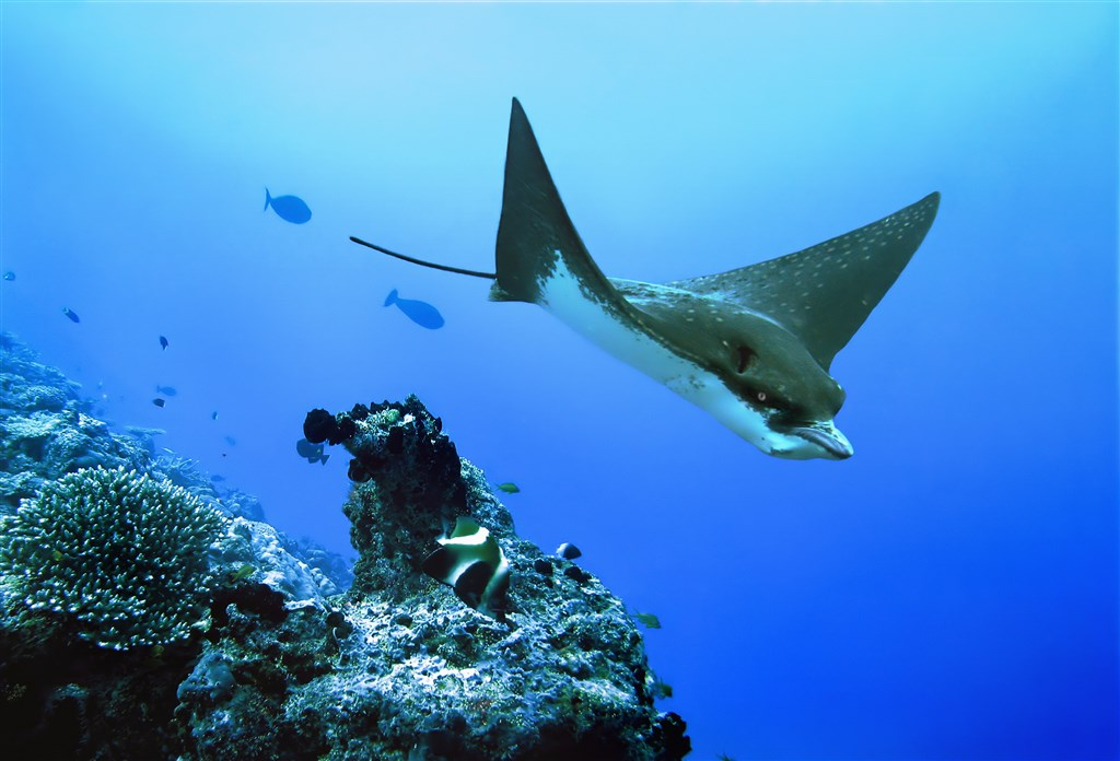 Spotted Eagle Ray Photo in Kandooma Thila in the Maldives