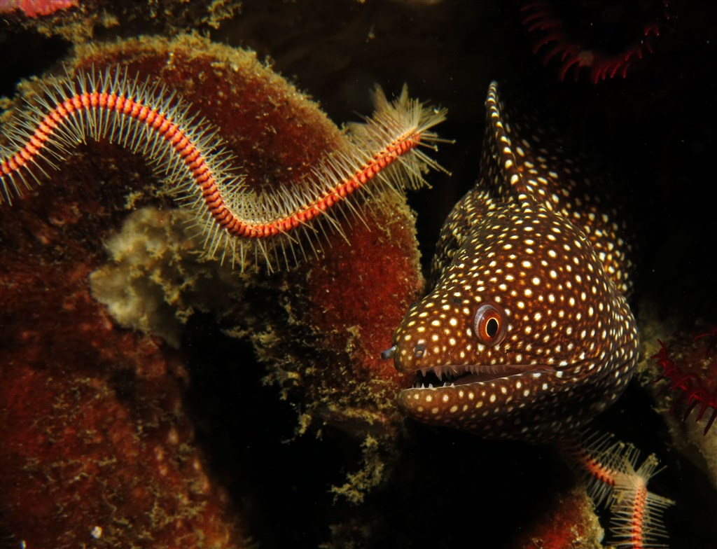 Turkey Moray Photo in Crystal Bay in Indonesia