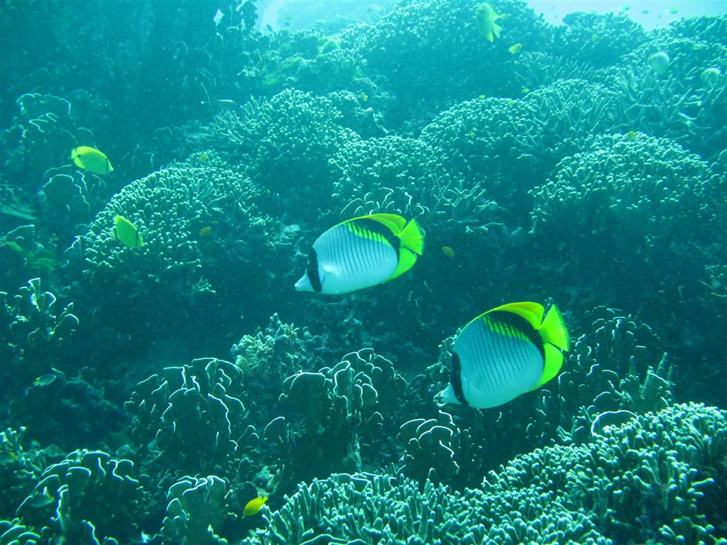 Lined Butterflyfish Photo in Fantasea Reef in Thailand
