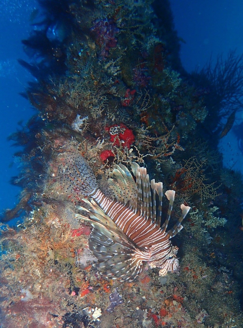 Red Lionfish Photo in Fesdhoo Wreck and Thila  in the Maldives