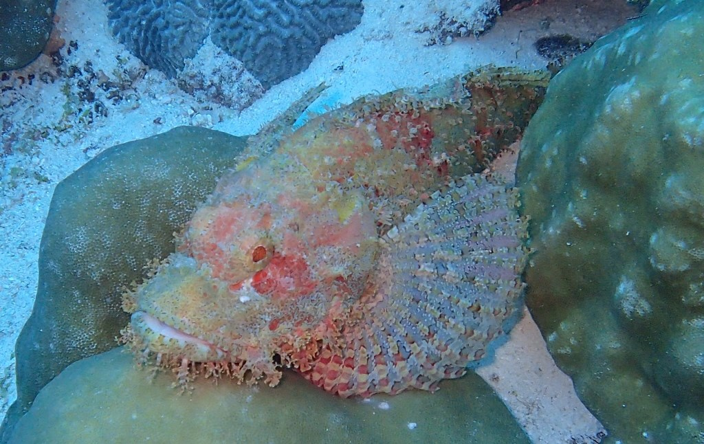 Red Scorpionfish Photo in Fesdhoo Wreck and Thila  in the Maldives