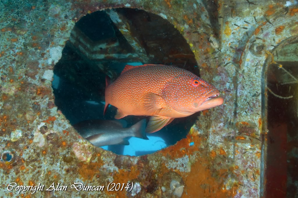 Leopard Coralgrouper Photo in HTMS Sattakut in Thailand