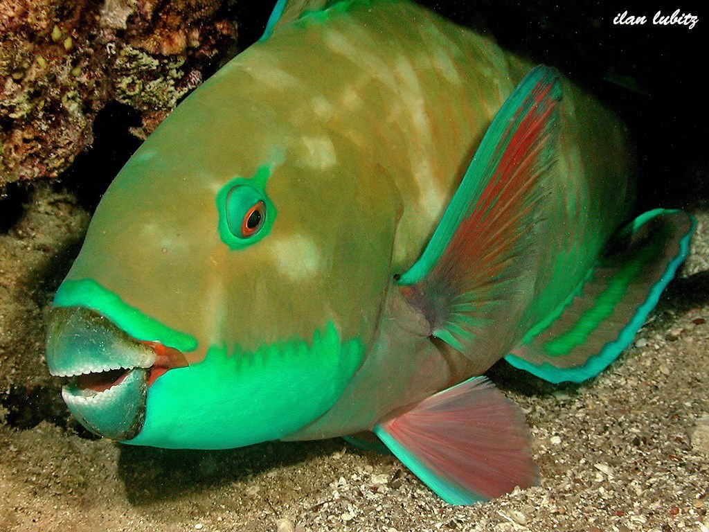 Bleeker's Parrotfish Photo