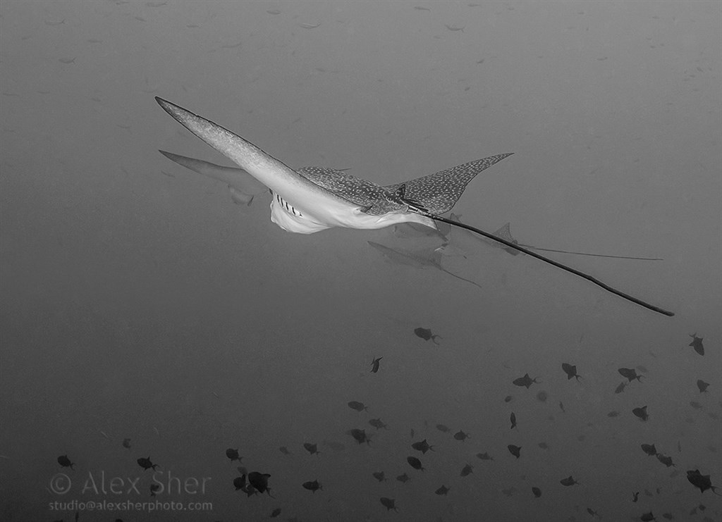 Spotted Eagle Ray Photo