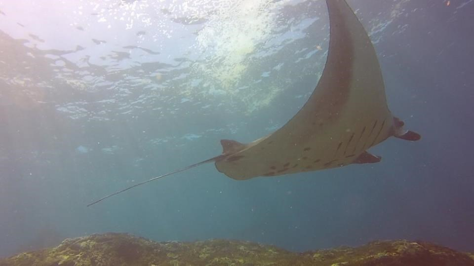 Reef Manta Ray Photo in Manta Point  in Indonesia
