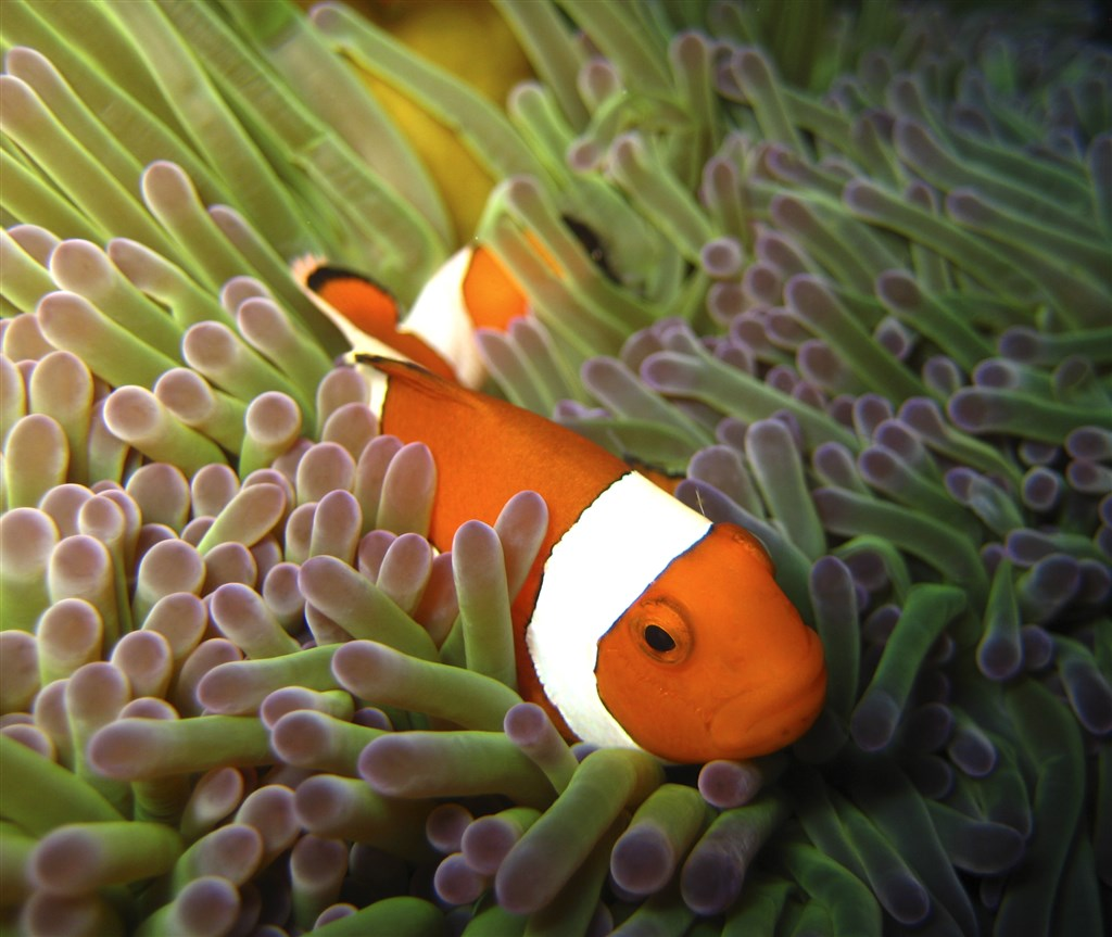 Orange clownfish photo rob 39 s point en indon sie - Raja laut dive resort ...
