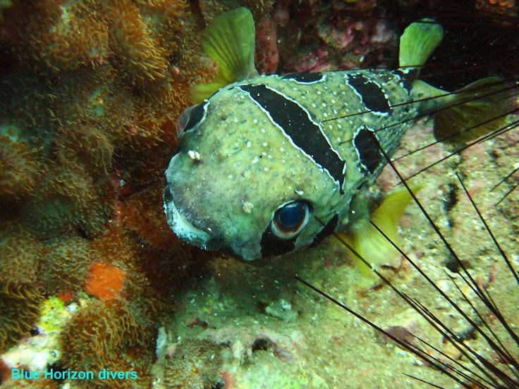 Black-Blotched Porcupinefish Photo in Sail Rock in Thailand