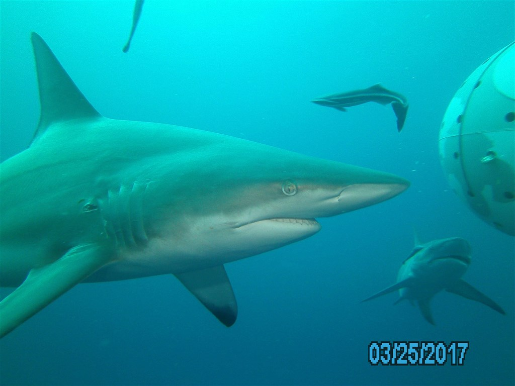 Blacktip Shark Photo  in South Africa