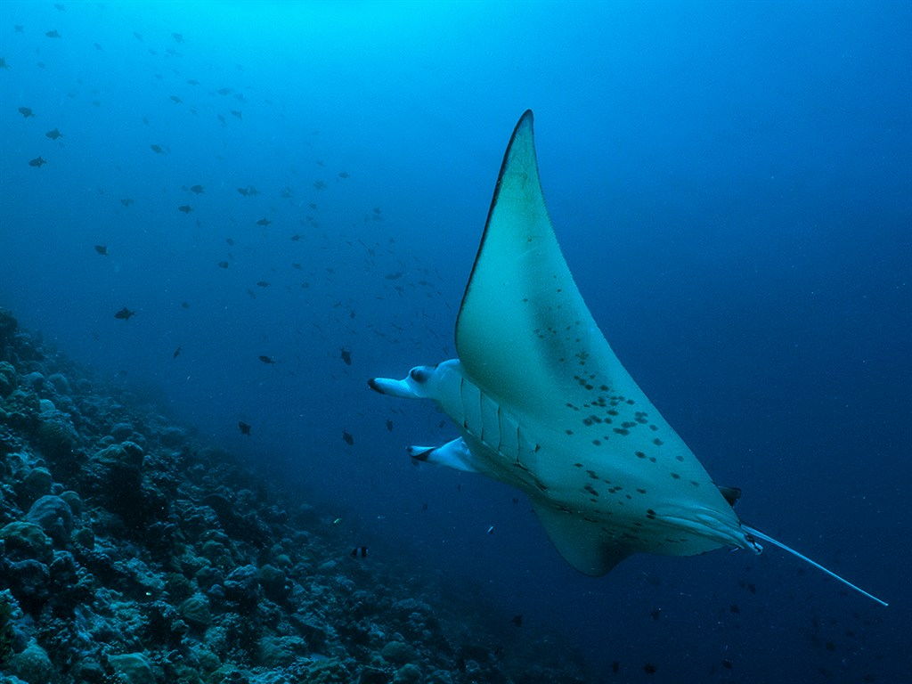 Reef Manta Ray Photo in Thoddoo Faru in the Maldives