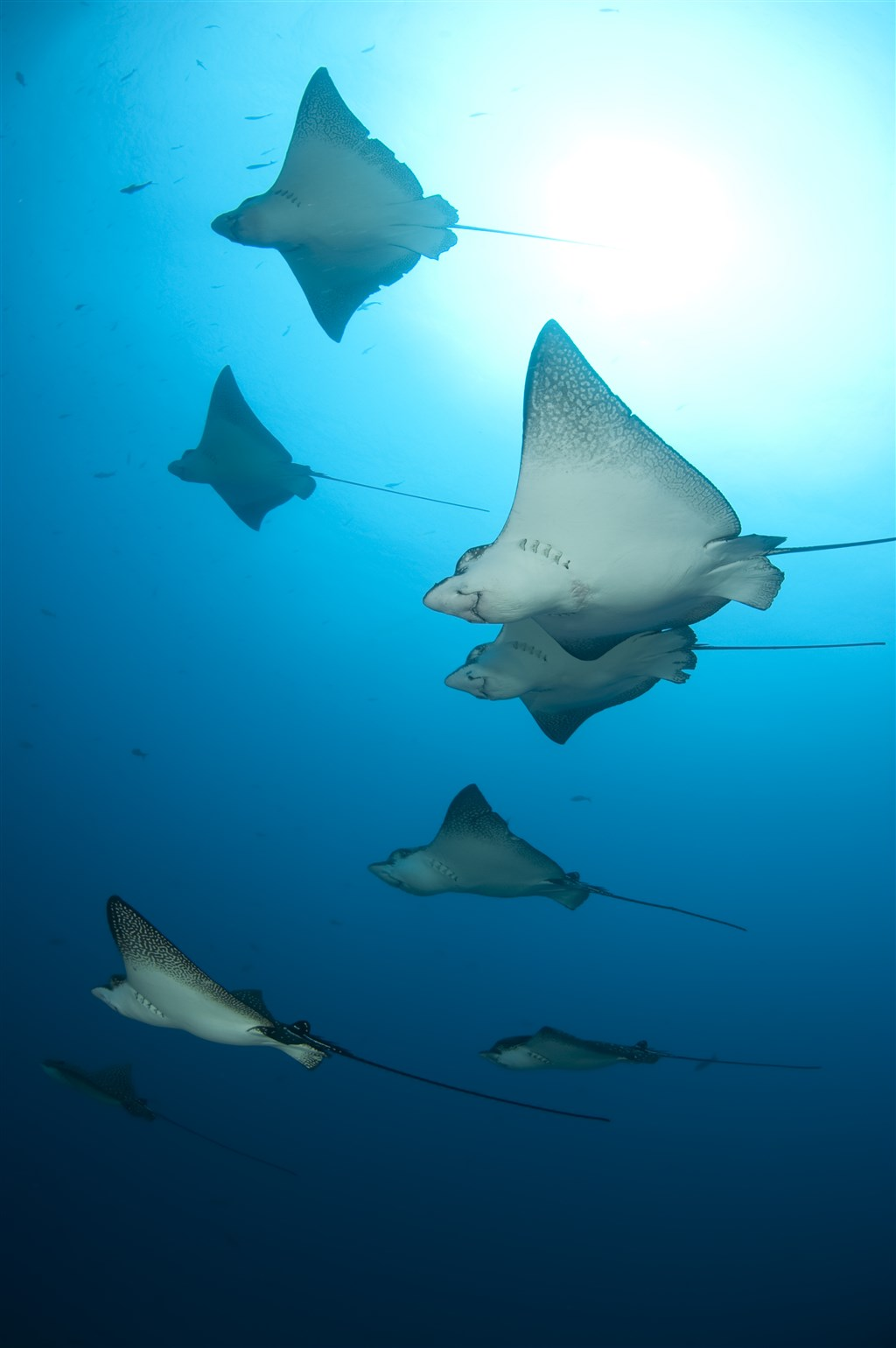 Spotted Eagle Ray Photo in Wolf Island in Ecuador