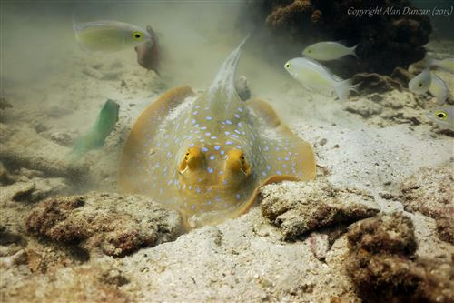 Ribbontail stingray in Thailand