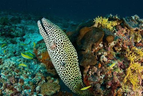 Laced moray in the Maldives