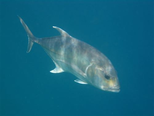 Giant trevally in the Maldives