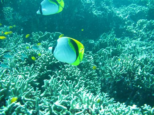 Lined butterflyfish in Thailand