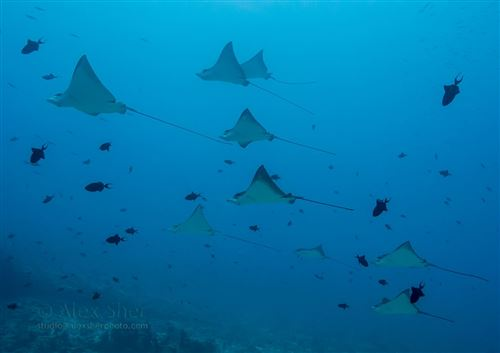 Spotted eagle ray aux Maldives
