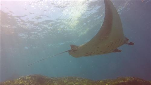 Reef manta ray in Indonesia