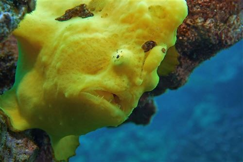 Commerson's frogfish in United States
