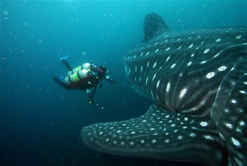 Whale shark in Ecuador