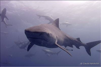 Tiger shark in South Africa
