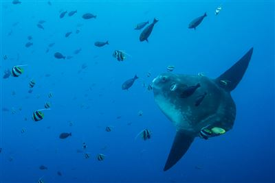 Ocean sunfish in Indonesia