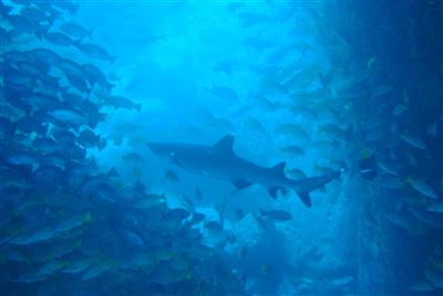 Whitetip reef shark in Colombia