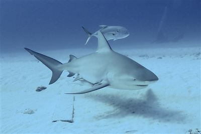 Bull shark in Mexico