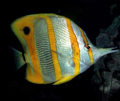 Copperband butterflyfish in Thailand