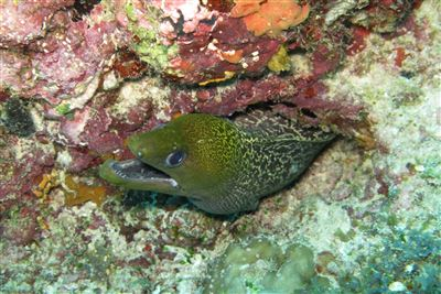 Giant moray in the Maldives