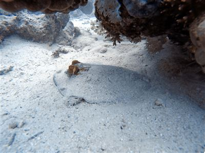 Ribbontail stingray in Egypt