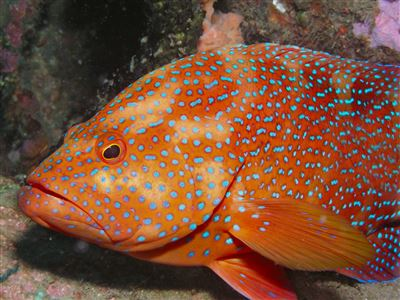 Coral hind in Thailand