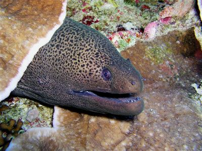 Giant moray in Thailand