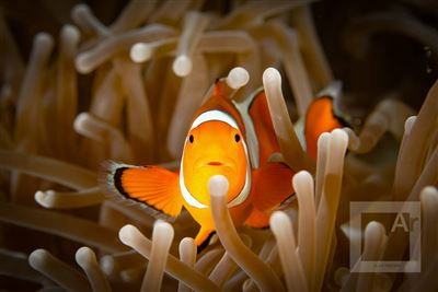 Clown anemonefish in Indonesia