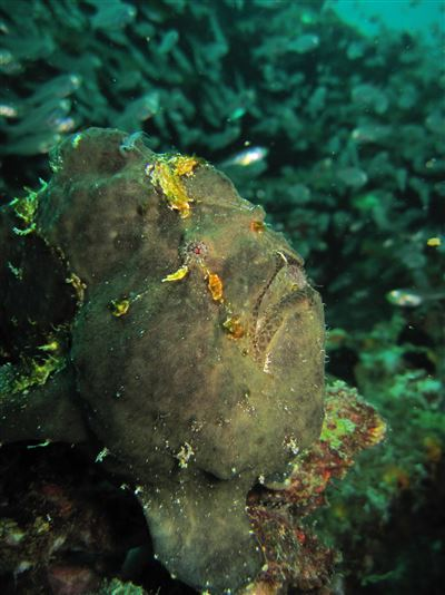 Commerson's frogfish in the Maldives