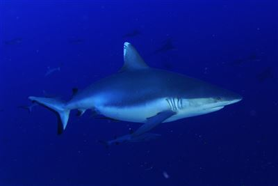 Blacktail reef shark in the Maldives