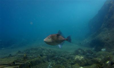 Finescale triggerfish in Spain