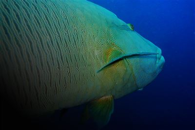 Humphead wrasse in the Maldives
