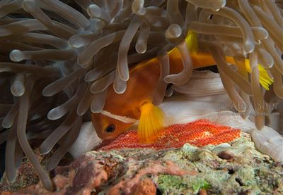 Maldive anemonefish in the Maldives