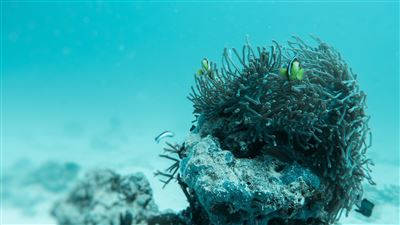 Saddleback clownfish in the Maldives