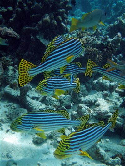 Indian Ocean oriental sweetlips en Maldivas