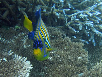 Regal angelfish in the Maldives