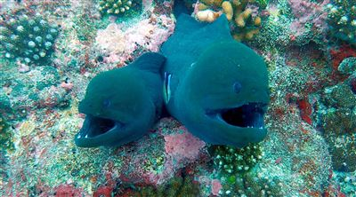 Green moray in the Maldives