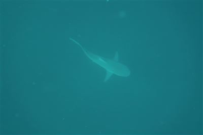 Bull shark in South Africa