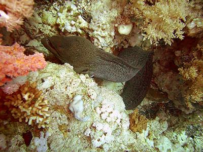 Liver-colored moray eel in Egypt