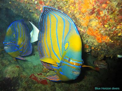 Bluering angelfish in Thailand
