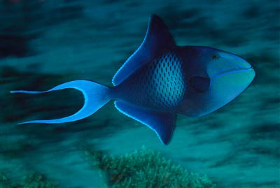 Red-toothed triggerfish in Thailand